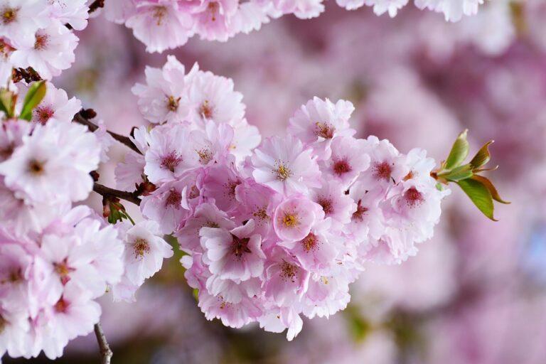 富山のお花見みどころおすすめは?昼桜と夜桜どっちがいい